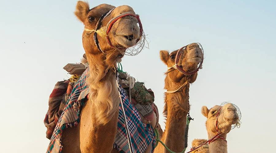 camel excursions in dubai