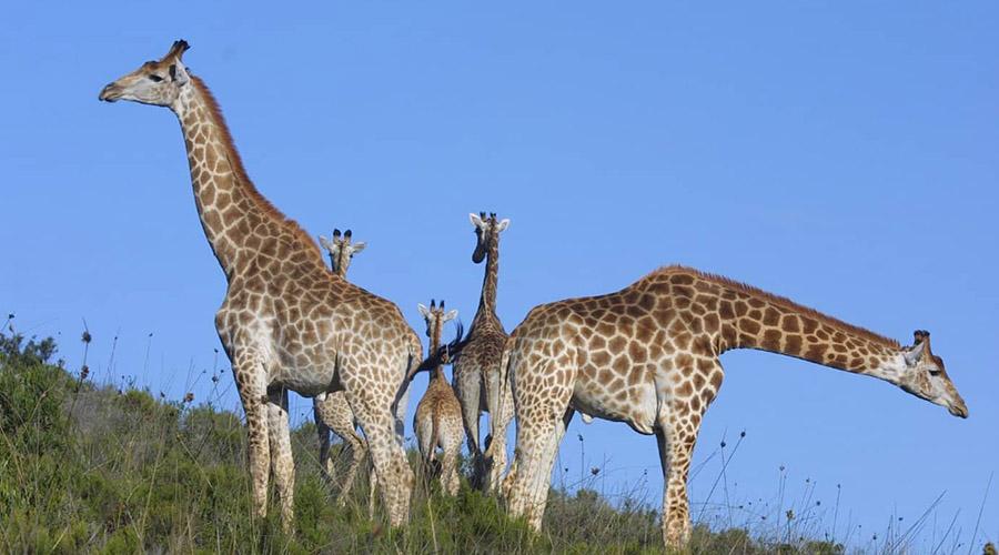 giraffe game drive